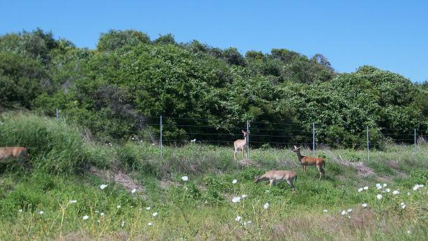 Deer at Aransas National Wildlife Refuge.