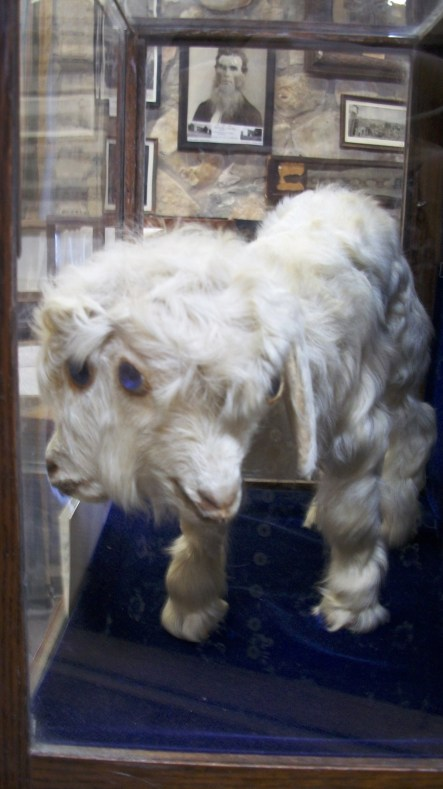 Goat born with two heads and four eyes.