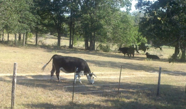 Breakfast with bovines. Bugzilla was not present.