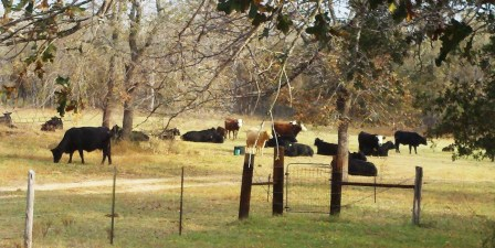 Breakfast with bovines.