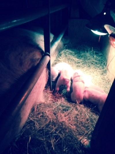Newborn piglets!