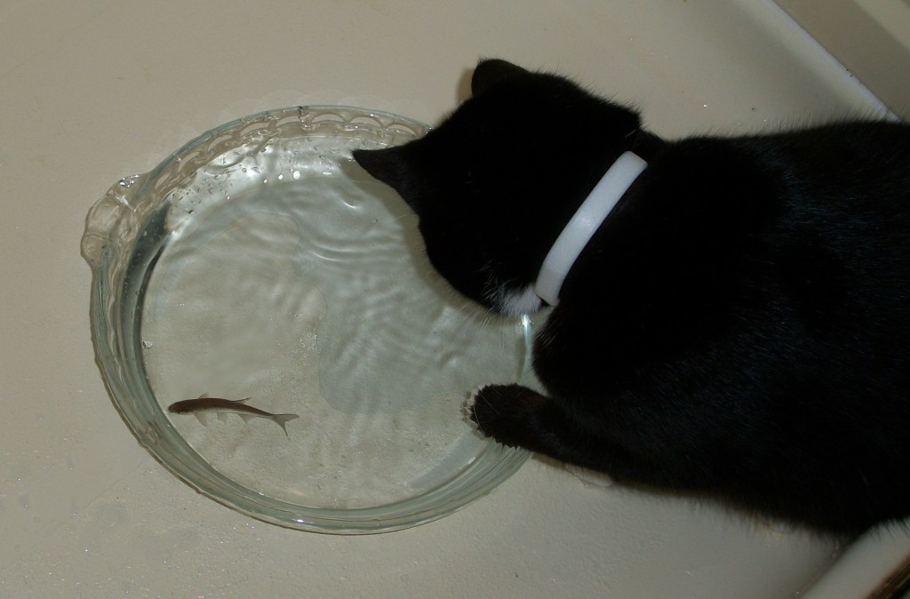 Pye fishing for a minnow.
