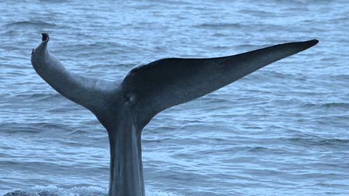 blue_whale_watch_whalebluehookdelt resized