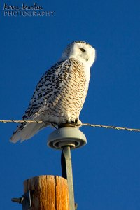 Female Snowy Owl, East of Calgary, February 2013