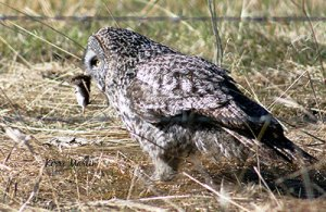 Great Gray Owl with its prey, May 2012