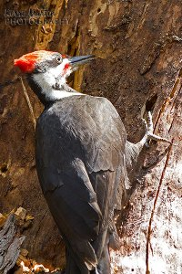 Pileated Woodpecker, Weaselhead, May 2013