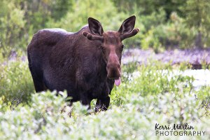 Young Bull Moose, Kananaskis, July 2013