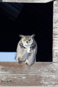 Great Horned Owl, North of Lethbridge, 2012