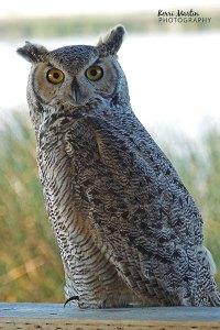 Great Horned Owl, Frank Lake, 2011