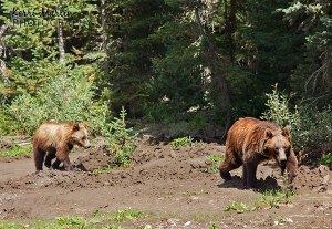 Grizzly Bear Sow and Cub, August 2013