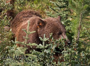 Grizzly Bear Sow, August 2013