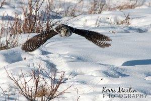 Northern Hawl Owl, February 2014