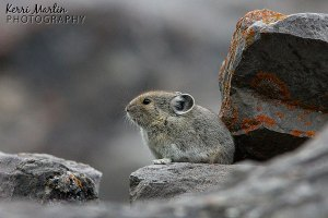 Pika, Spray Valley Provincial Park, September 2013