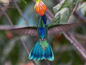Sparkling Violetear Hummingbird, winner