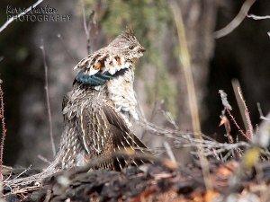 Sonny, the Drumming Ruffed Grouse