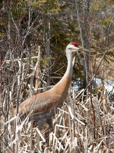 Sandhill Crane, Michigan