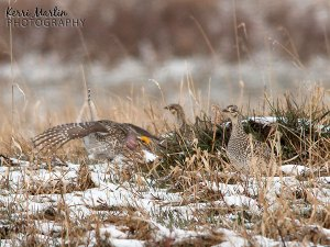 Male Sharpe-tailed Grouse, dancing for females