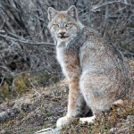 How a Canadian Lynx made me lose my sh*t