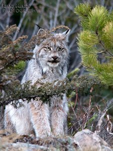 Canada Lynx, watching me get in trouble