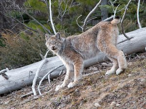 Canada Lynx, allowing me a face shot
