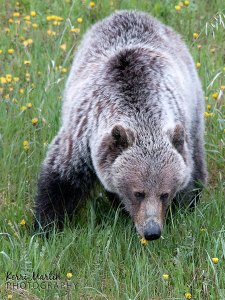 Grizzly Bear eating Dandelions