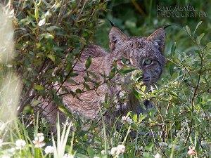 Canadian Lynx - Kananaskis, AB