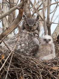 Great Horned Owlet and Mom