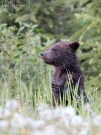 Grizzly Bear Cub Wave