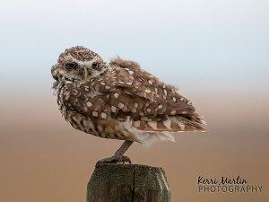 Burrowing Owl - Southern Alberta