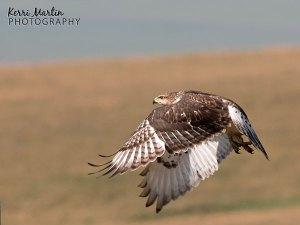 Ferruginous Hawk - SW Alberta