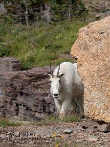 Mountain Goat - Logan's Pass, Montana
