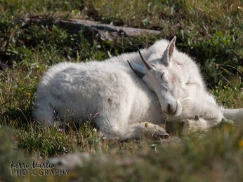Sleepy Mountain Goat