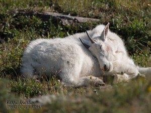 Sleepy Mountain Goat - Logan's Pass, Montana