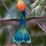 Wildlife Photography: Peruvian Hummingbirds