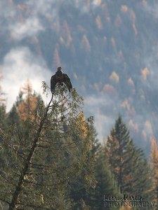 Juvenile Bald Eagle, BC