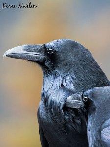 Raven Couple, Jasper National Park