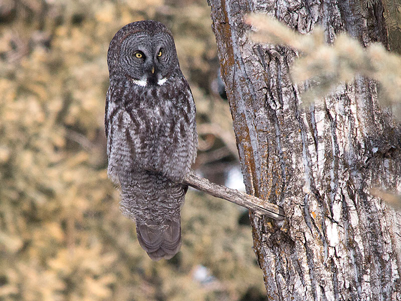 Great Grey Owl, Calgary