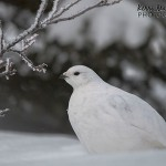 A White-tailed ptarmigan and the value of snowshoes