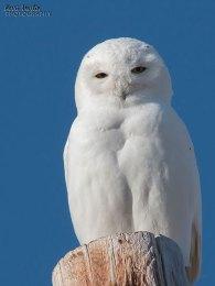 SnowyOwl16