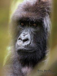 Silverback Gorilla, Rwanda
