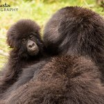 African Adventures Part 1: Mountain Gorillas in Rwanda