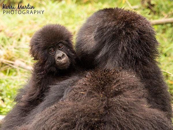 Mom and Baby Gorilla, Rwanda