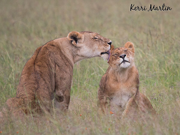 The Maasai Mara Reserve, Kenya - from the gallery LIONS OF AFRICA
