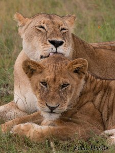 Lion Bath, Maasai Mara Reserve, Kenya