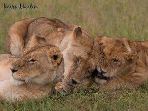 Lions,  Maasai Mara Reserve, Kenya