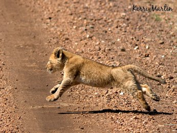2 month old lion cub