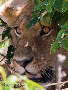 Lion, Maasai Mara Reserve, Kenya