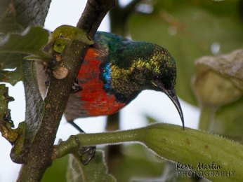 Double Collared Sunbird