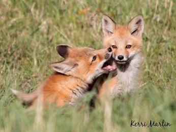Fox Kit Pair