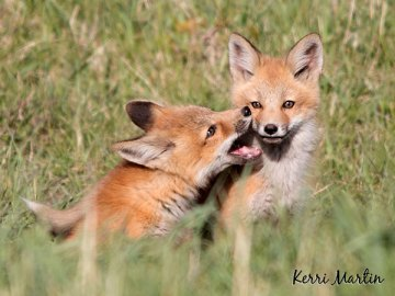 Fox Kit Pair